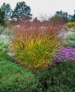 Herbststauden: Pannicum viragtum 'Hänse Herms' und violette Astern